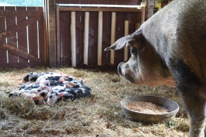 Peggy Sue and her 12 piglets!